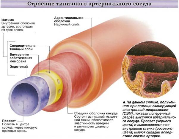 Артерии. Что вы знаете о болезнях связанных с артериями?