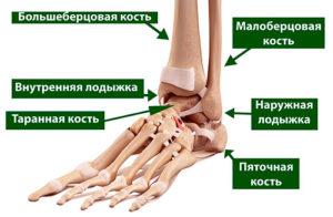 anatomiia-golenostoponogo-sustava