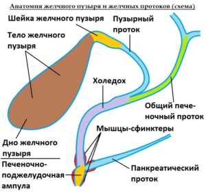 anatomiya-protokov