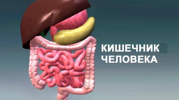 Кишечник человека. Описание, диагностика и лечение