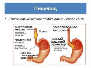 пищевод