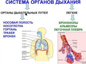 Дыхательная система человека. Строение, заболевания